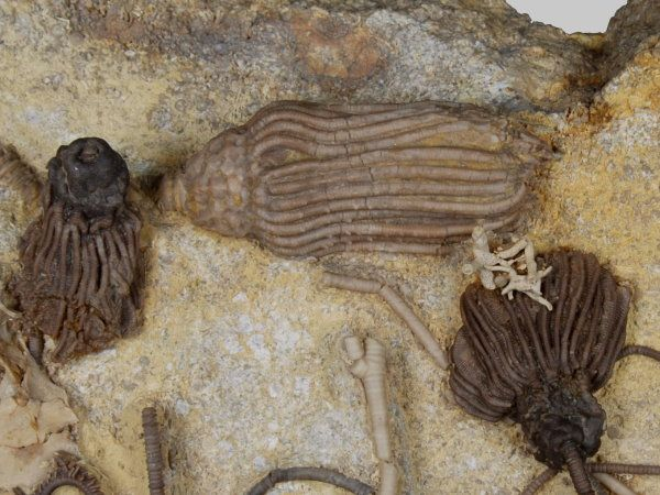 Mississippian_Crinoids