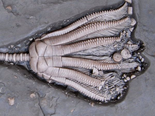 Triassic_Crinoids